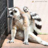 和歌山県白浜・アドベンチャーワールドにて、ワオキツネザルの赤ちゃんが2頭誕生!