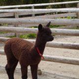りんどう湖初のアルパカの赤ちゃんの名前が「ショコラ」に決定!