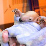 伊豆シャボテン動物公園にてミナミコアリクイの「ケイ」が誕生。SNSで話題の「コン」「トト」に弟が